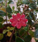 DSC 0218 130x145 - Kwiat