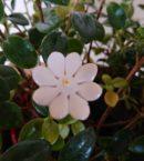 DSC 0226 130x145 - Kwiat