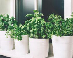 zioła z doniczkach